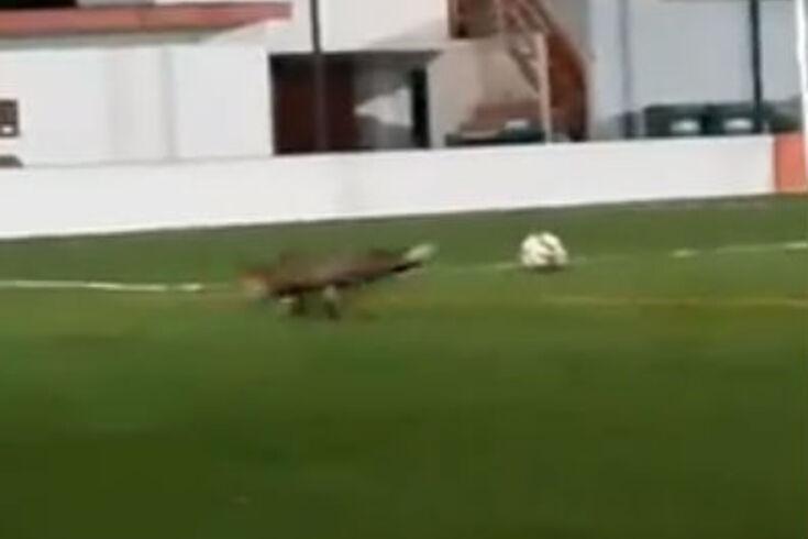 Clube de Viana do Castelo tem como grande figura uma raposa e até dá toques na bola