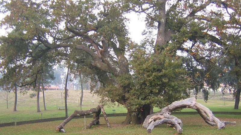 http://www.tsf.pt/sociedade/ambiente/interior/carvalho-mais-antigo-da-peninsula-iberica-resiste-na-povoa-de-lanhoso-5087683.html