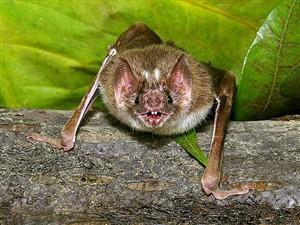 Saliva de morcego poderá tratar vítimas de AVC