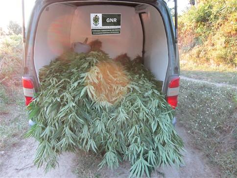 GNR apreende 160 quilos de cannabis