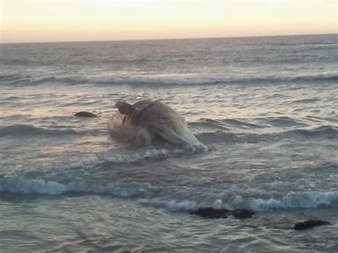 Baleia deu à costa em praia de Esposende