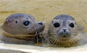 Novo vírus da gripe aviária mata focas bebés
