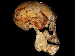 Homo erectus não estava sozinho