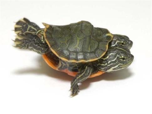 Tartaruga de duas cabeças faz furor em museu dos EUA