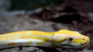 Descobertas 40 cobras pitão em quarto de hotel no Canadá