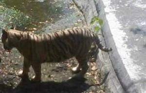 Tigre branco mata jovem num zoo na Índia
