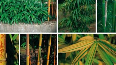 O maior viveiro do mundo de bambú fica em Odemira