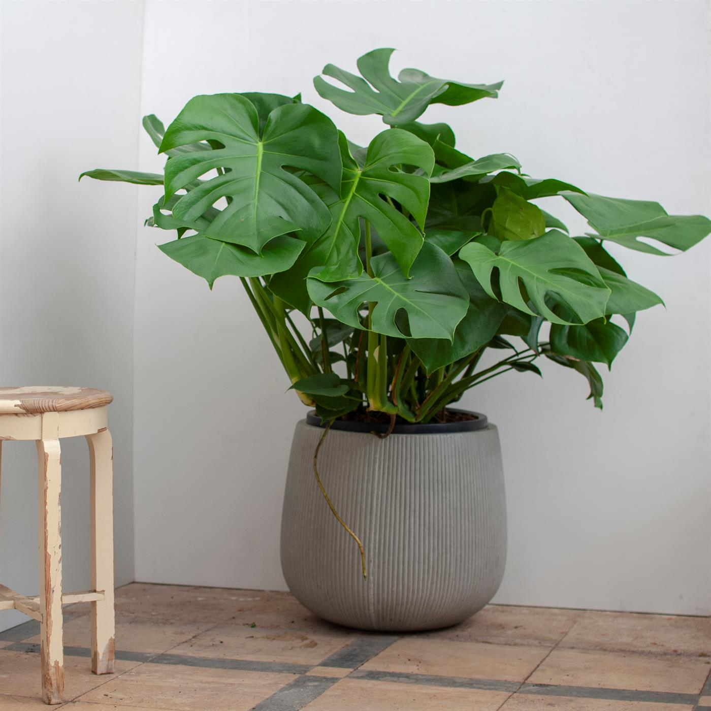 Monstera, una planta que no necesita mucha luz