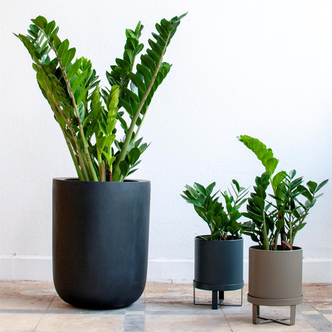 Zamioculcas, plantas para zonas poco iluminadas