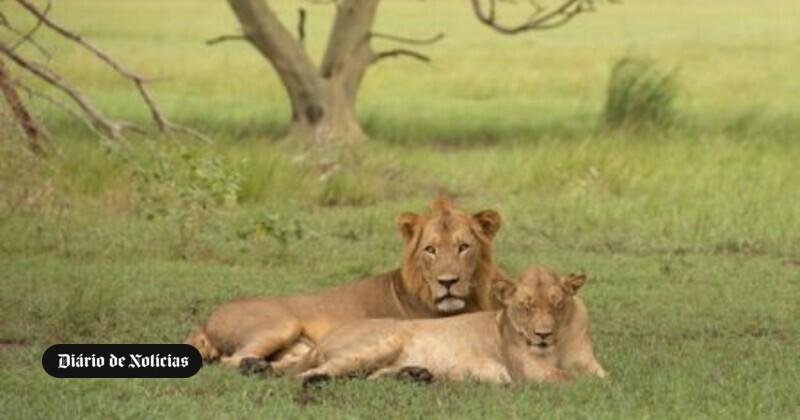 Sete leões que aterrorizavam a população capturados em Moçambique