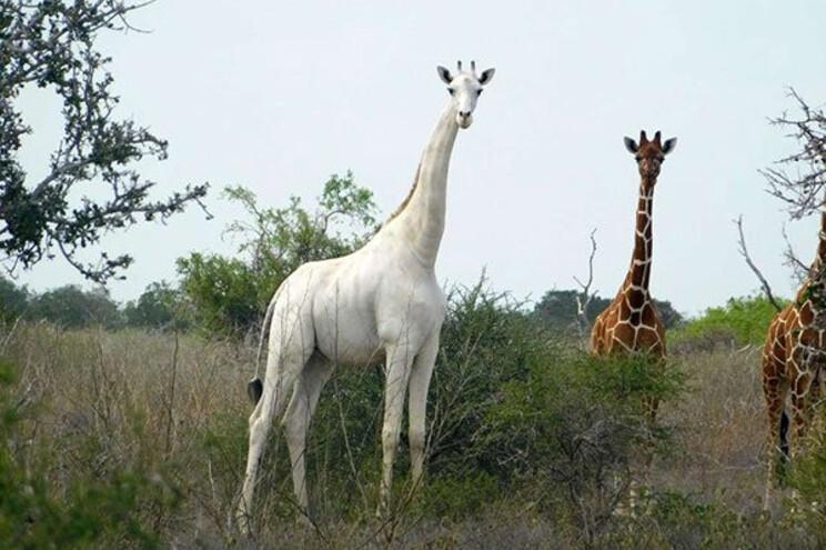 Única girafa branca macho viva