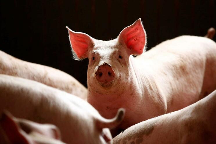 China continuará a penalizar a carne de porco norte-americana