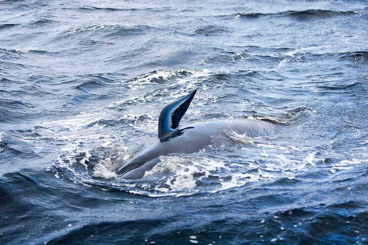 Cerca de 60 baleias avistadas este fim de semana perto da costa de Coromandel