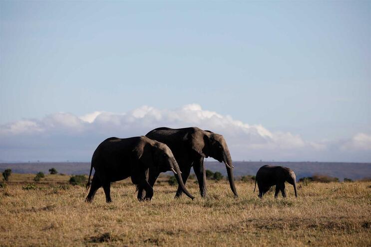 Pelo menos 55 elefantes morreram de fome no Zimbabué