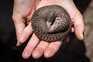 Alguns pangolins foram resgatados no Uganda