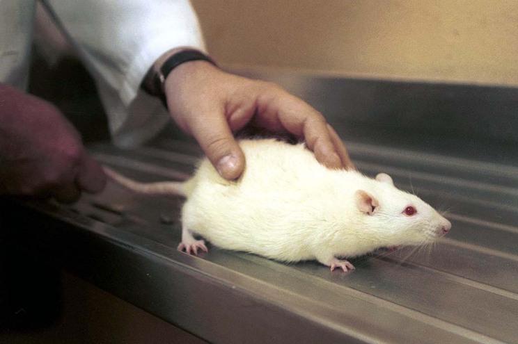 Portugal não cumpre regras europeias sobre proteção dos animais de laboratório