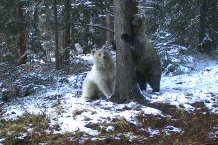Especialistas dizem que urso não é albino e que cor incomum se deve a um gene recessivo