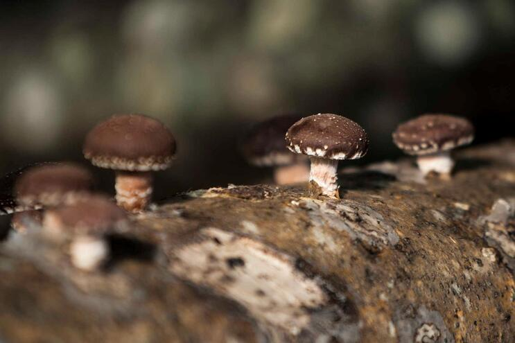 Cogumelos shiitake