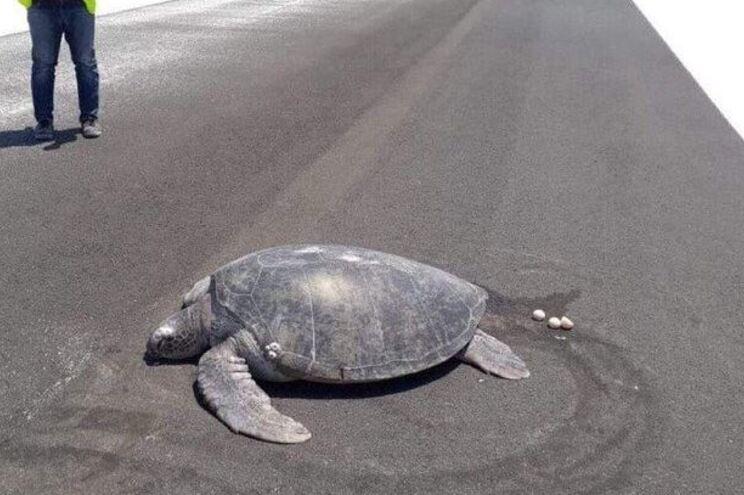 Tartaruga em risco de extinção tenta pôr ovos em praia coberta por asfalto