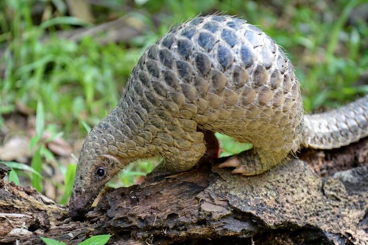 O pequeno mamífero é um dos mais caçados no mundo, devido às suas escamas amplamente utilizadas na medicina