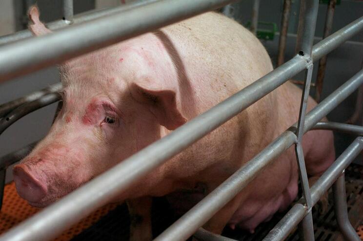 Cientistas descobrem que vírus encontrado em porcos infeta células humanas