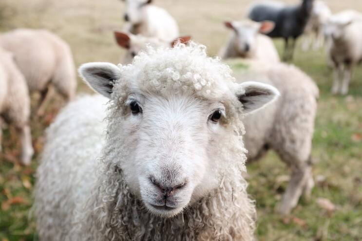 Em 2017, Portugal usou 12 ovelhas em experiências científicas