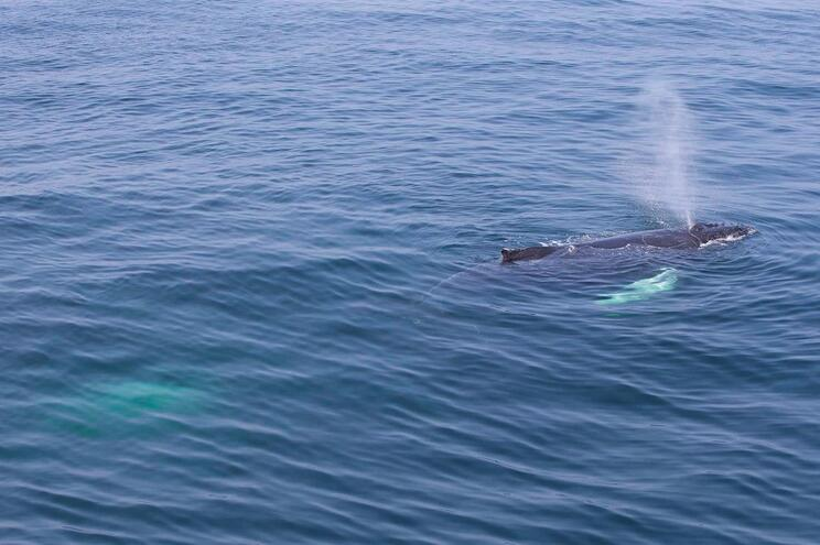 Japão capturou 177 baleias para fins científicos