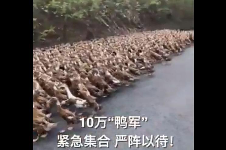 Imagens dos patos divulgadas pela agência oficial de notícias chinesa