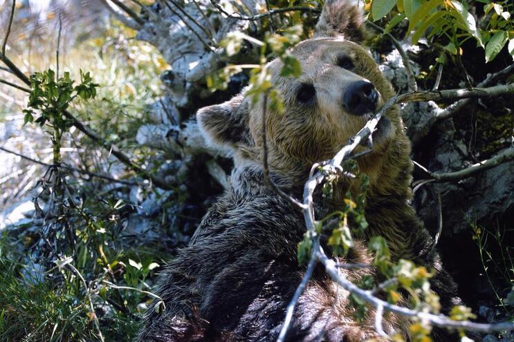 Biólogo defende plano ibérico de gestão das populações de urso-pardo