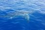 Gigante tubarão-branco avistado ao largo de Lampedusa