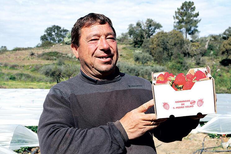 Dos morangais de Manuel Pinto saem, todos os anos, cerca de 17 mil quilos de morangos
