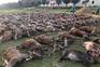 Dezasseis caçadores mataram 540 javalis e veados na Herdade da Torre Bela, na Azambuja
