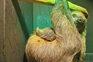 Zoomarine tem um novo habitante: a preguiça Seb