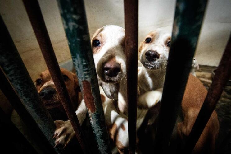 1600 cães eletrocutados em Cabo Verde