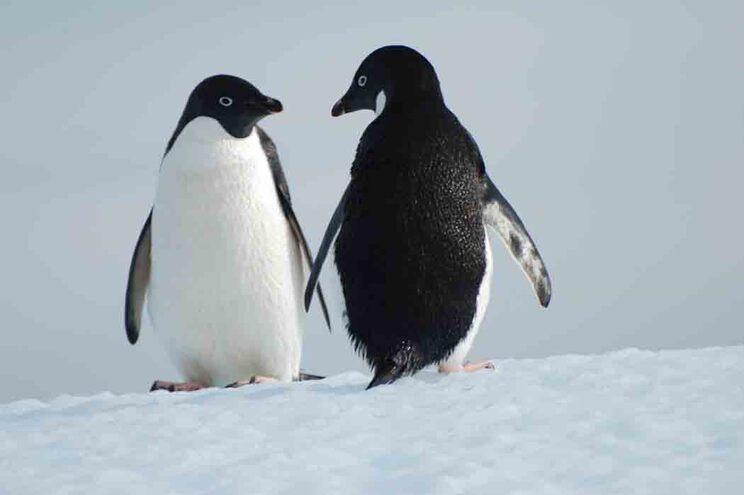 """Este estudo é """"o primeiro a registar microplásticos em pinguins e na cadeia alimentar marinha Antártica"""""""