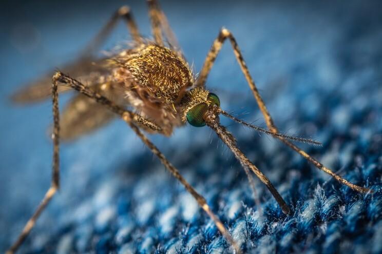 """Por que é que os mosquitos preferem picar humanos? """"Tradição"""" tem milhares de anos"""