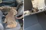 Jovens resgatam coalas feridos nos incêndios da Austrália