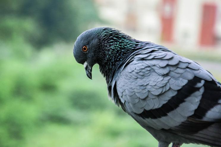 Resultado de imagem para Piolho do pombo leva a encerramento unidade coronária do hospital de Faro