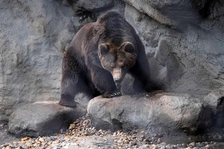 Portugal confirmou a Espanha existência de urso pardo considerado extinto