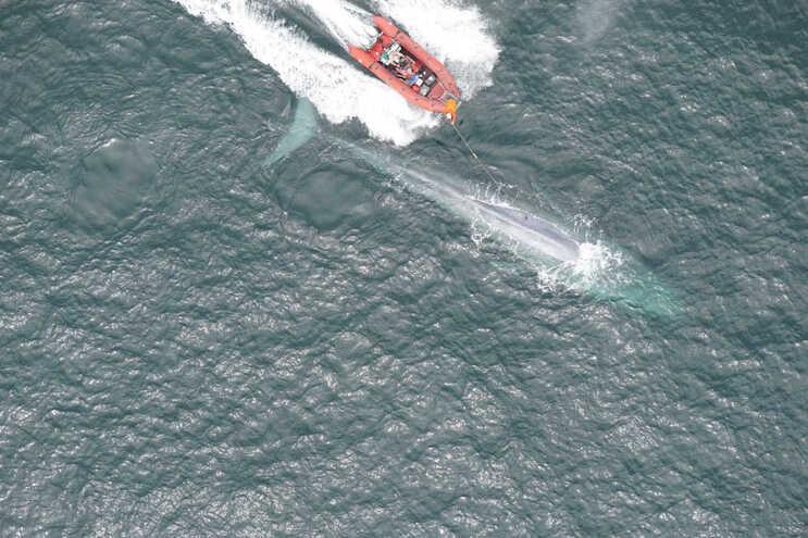 O coração da baleia azul bate apenas duas vezes por minuto