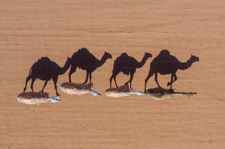 Camelos estão a ameaçar áreas habitadas por comunidades Aborígenes