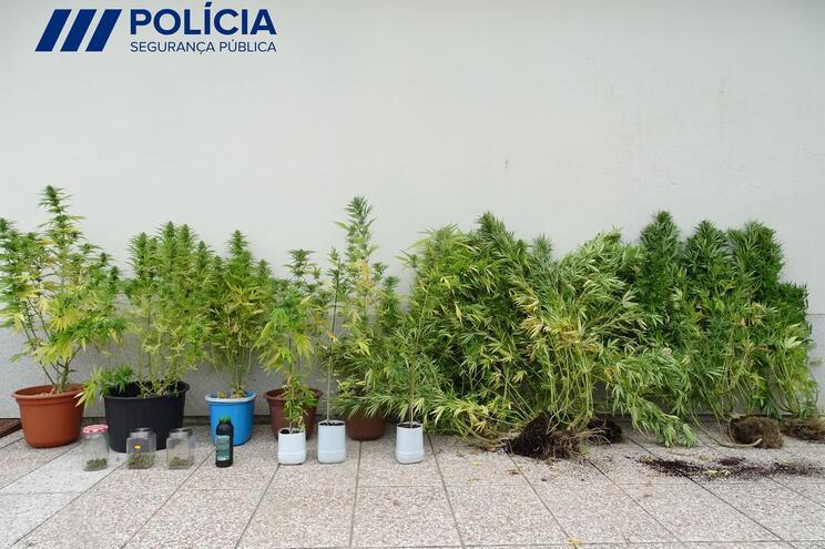Foram apreendidas plantas de canábis com alturas compreendidas entre 120 e 180 centímetros em completo