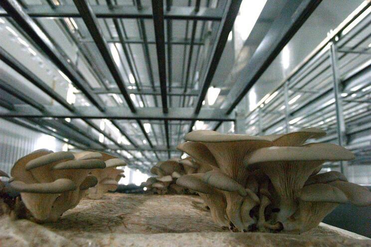 O Grupo Sousacamp é o maior produtor de cogumelos frescos em Portugal