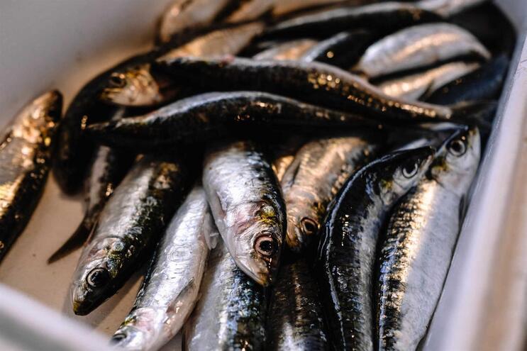 Pesca da sardinha proibida aos fins de semana, feriados e quartas-feiras