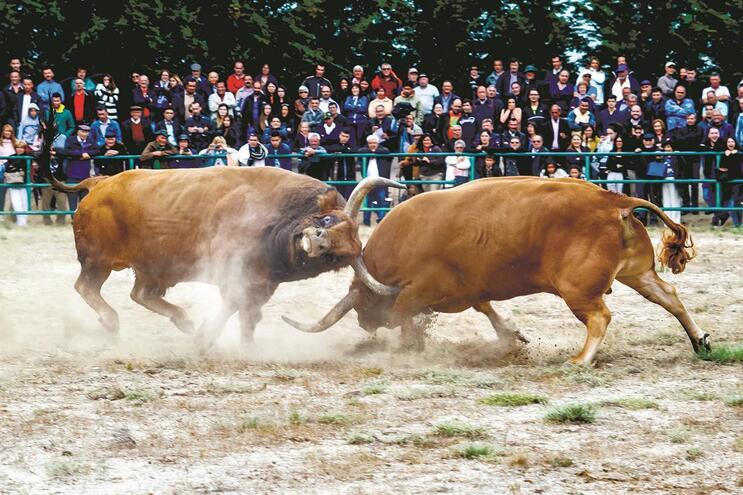 Lutas de bois de Montalegre com mais adeptos que os jogos de futebol