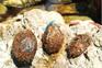 """As """"bolas de Neptuno"""" - restos de plantas marinhas com pedaços de plástico"""