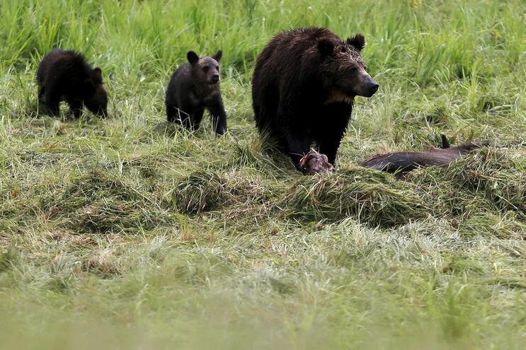 Família de ursos ataca e mata jovem de 18 anos no Alasca