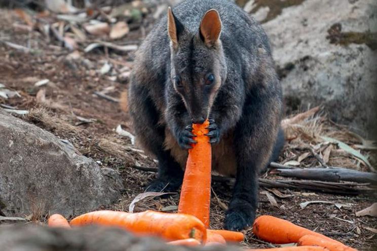 Cenouras já chegaram a animais em risco