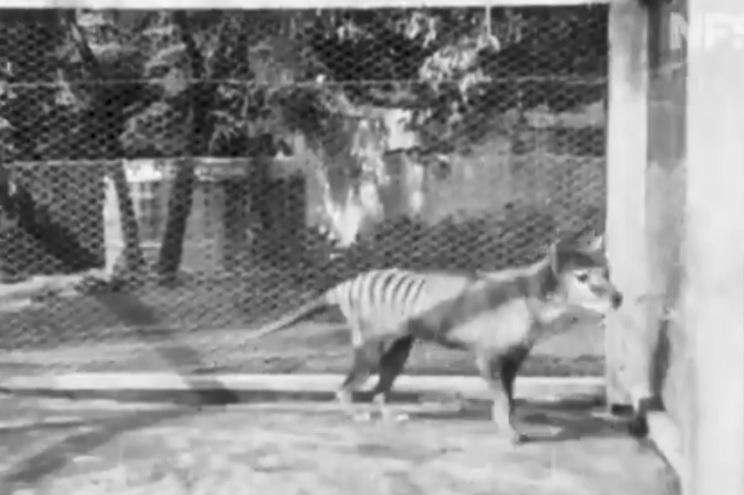 Divulgadas imagens inéditas do extinto tigre da Tasmânia