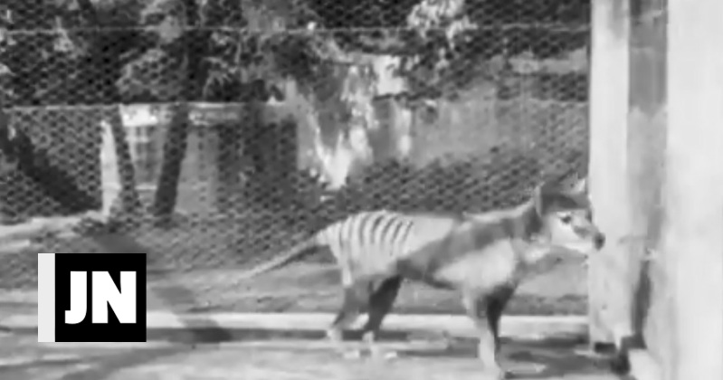 Unpublished images of the extinct Tasmanian tiger released